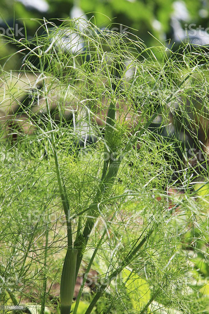 Fennel plant (Foeniculum vulgare) royalty-free stock photo