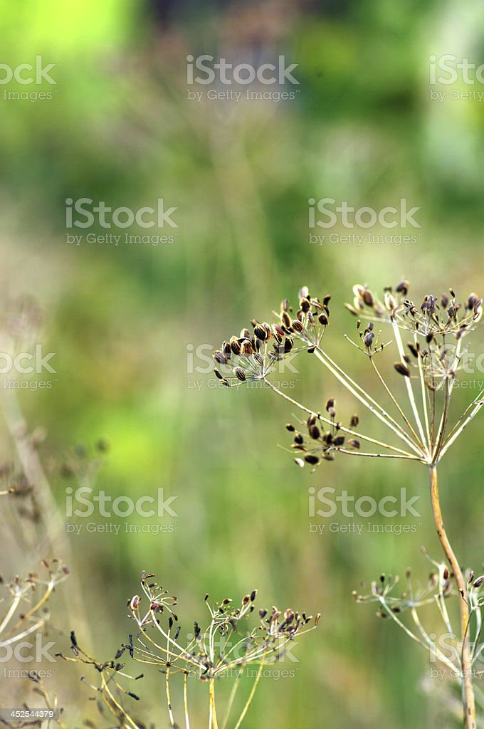 fennel seeds shallow focus in a garden royalty-free stock photo