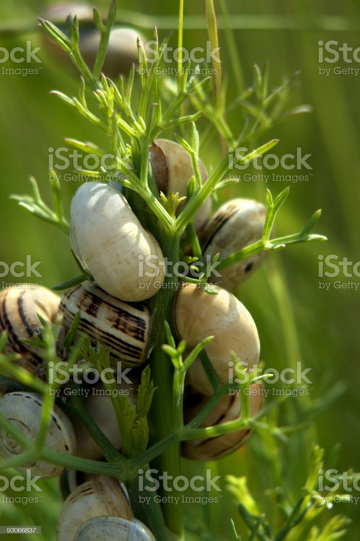 Fennel with snails royalty-free stock photo