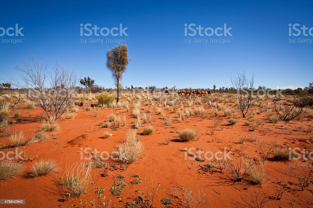 Feral Camels in Outback Desert Australia stock photo