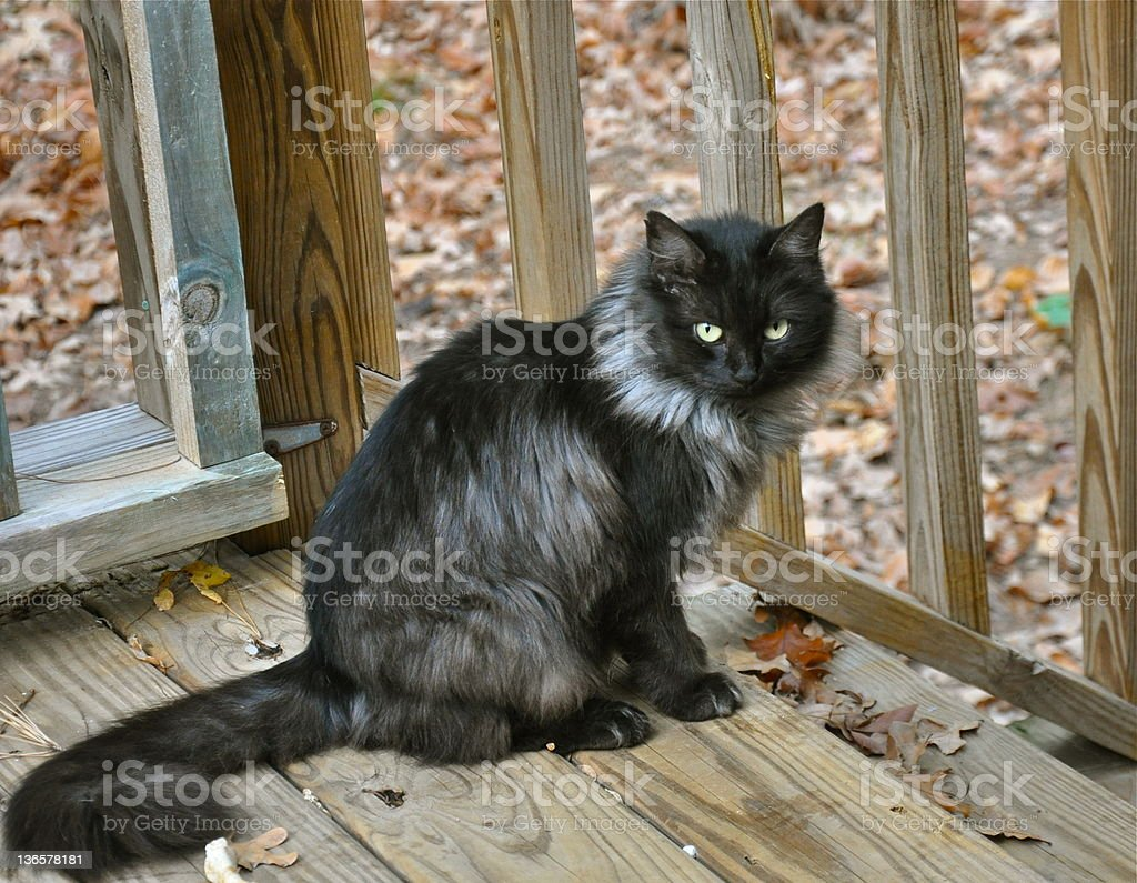 Feral Cat on Deck stock photo