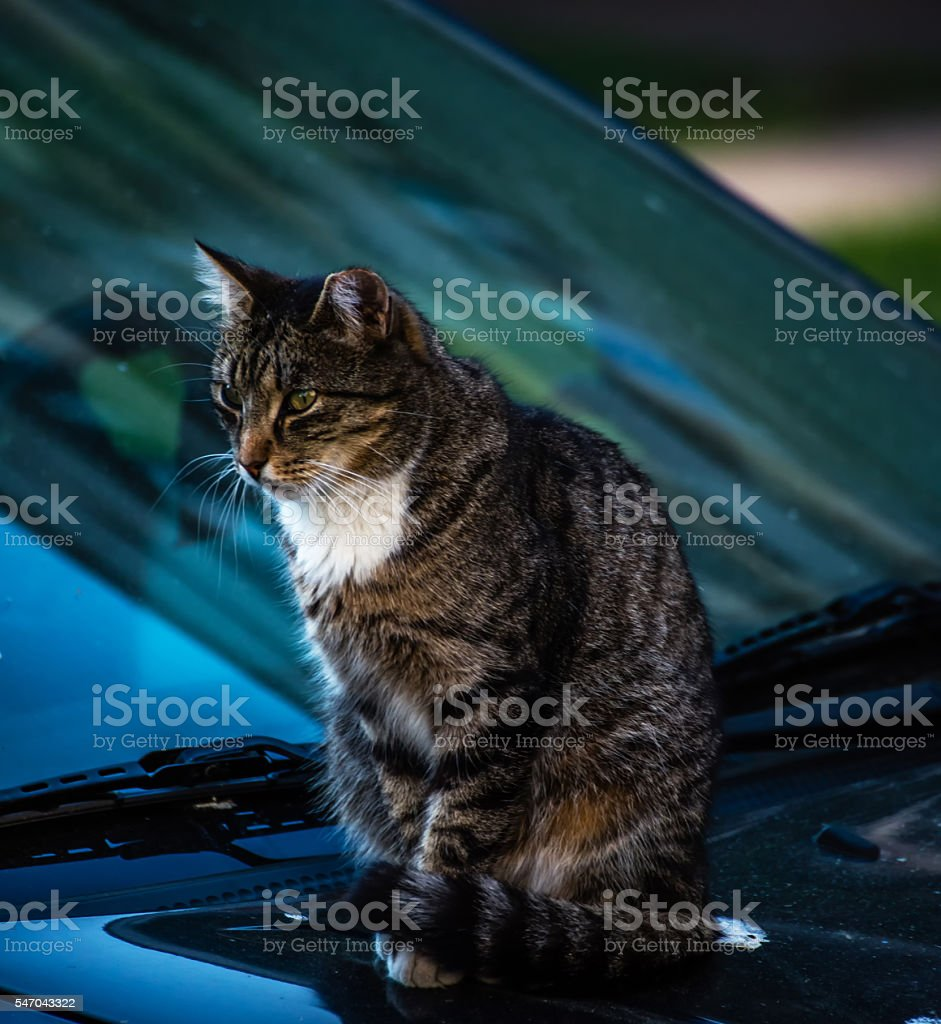 Feral Cat sitting on Car stock photo
