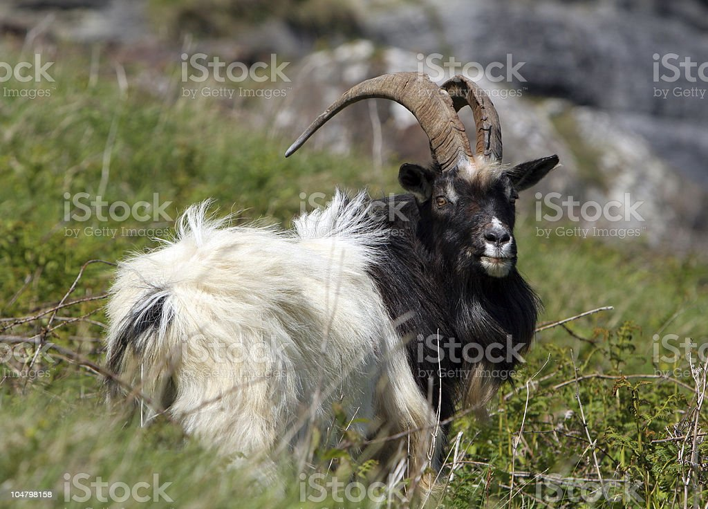 Feral Goat royalty-free stock photo