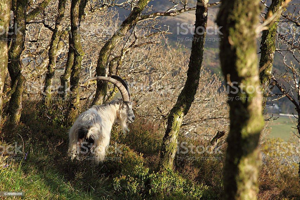 Feral goat stock photo