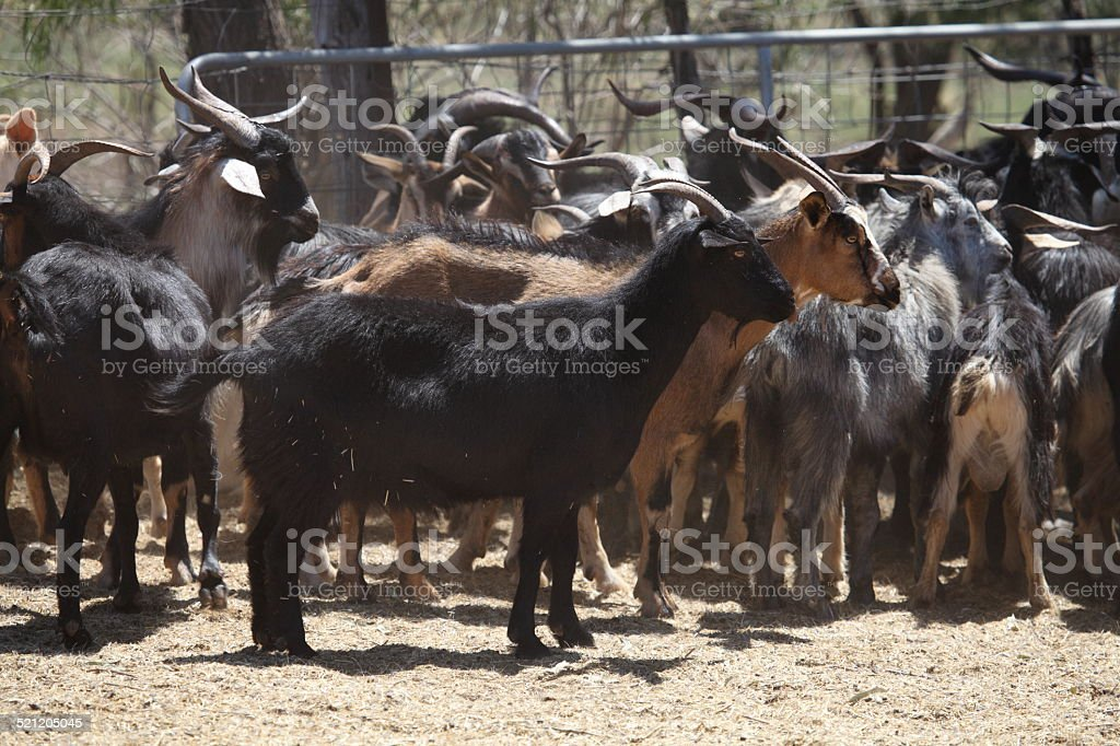 Feral goats stock photo