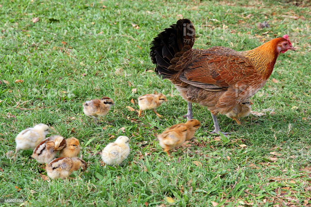 Feral hen and chicks on Oahu stock photo