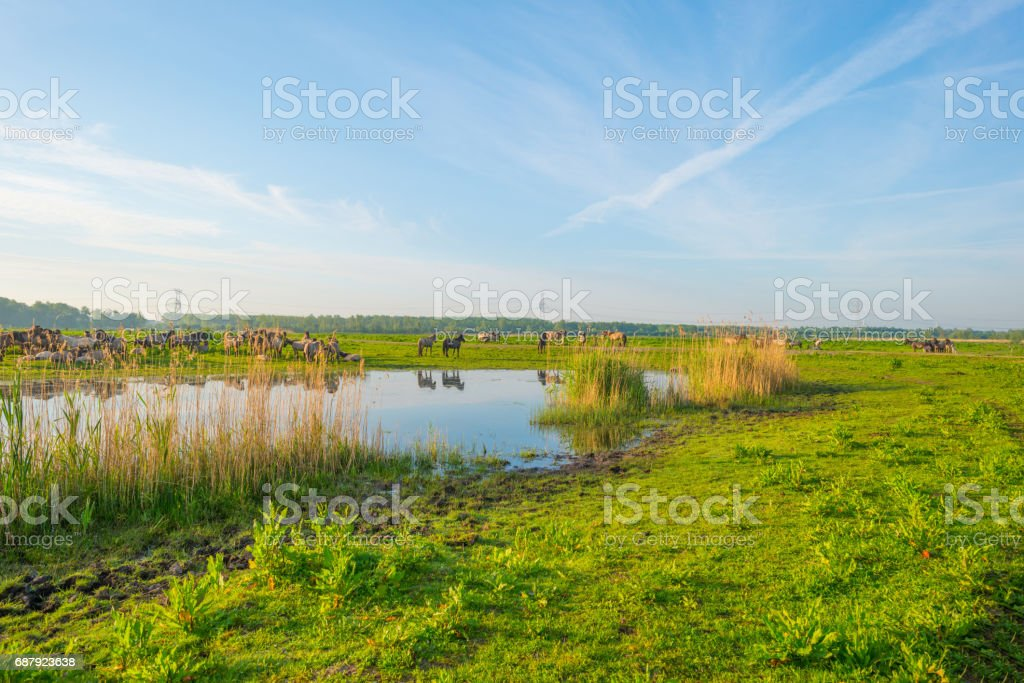 Feral horses along the shore of a lake in spring stock photo