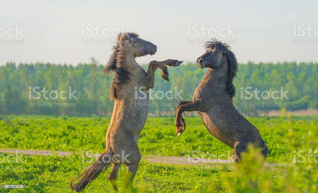 Feral horses in a meadow in wetland in spring stock photo