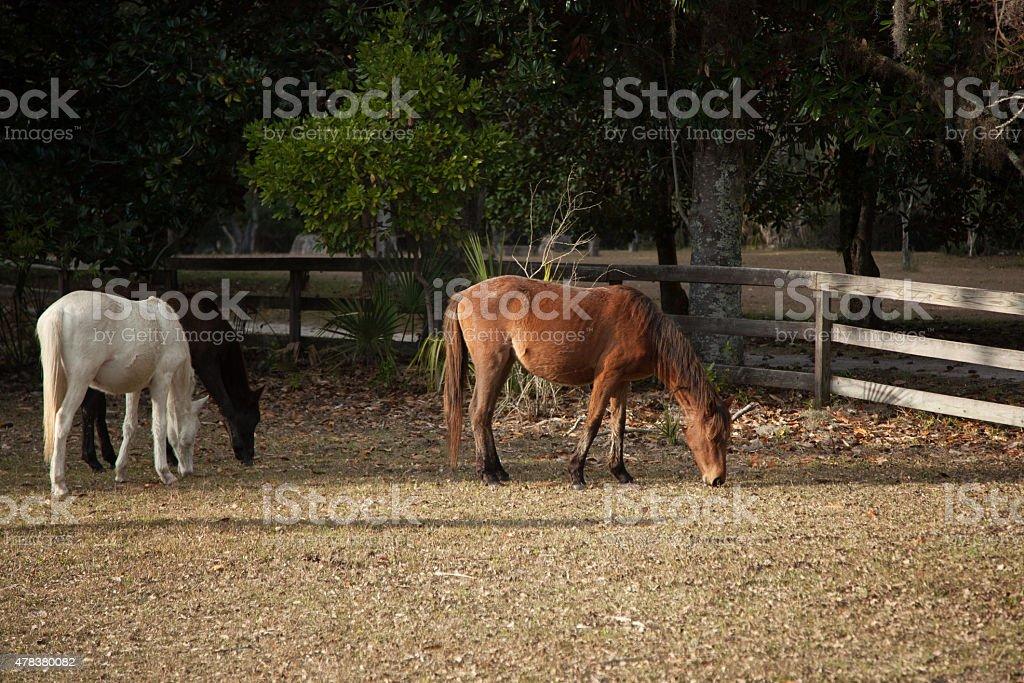 Feral Horses stock photo
