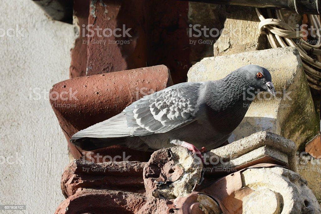 Feral London pigeon perched on corroded Victorian Ionic capital stock photo