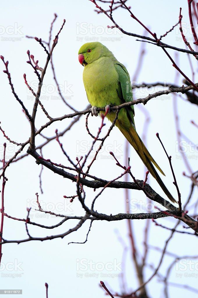 Feral Rose-ringed Parakeet (psitticula kraneri) in West London stock photo