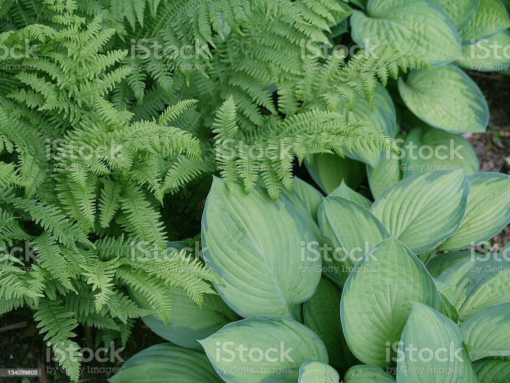 Fern and Hosta Background royalty-free stock photo