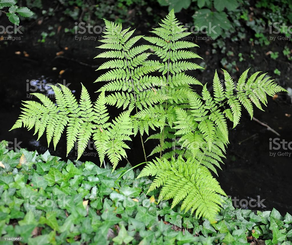 Fern and ivy royalty-free stock photo