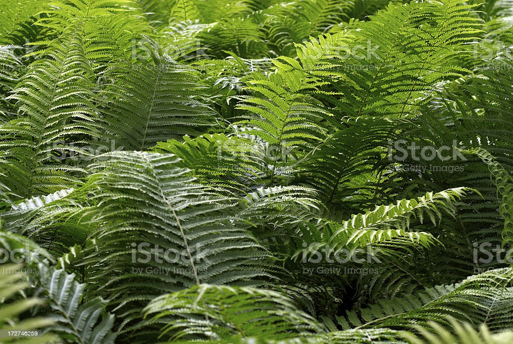 Fern Background royalty-free stock photo