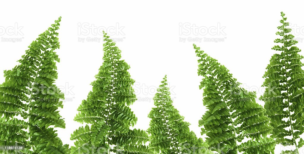 fern border, white background stock photo