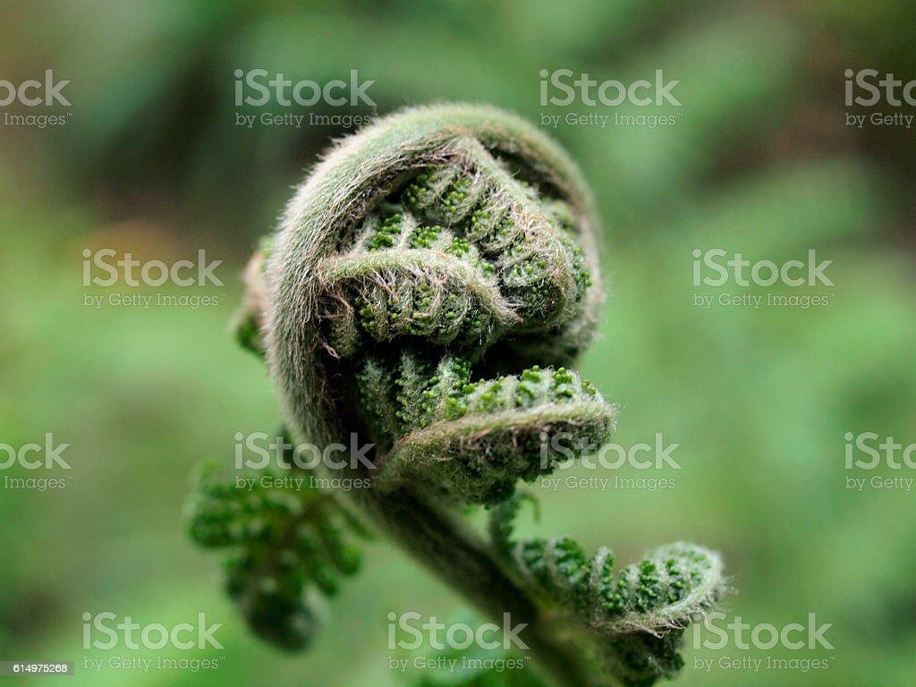 Fern branch begins to uncurl stock photo