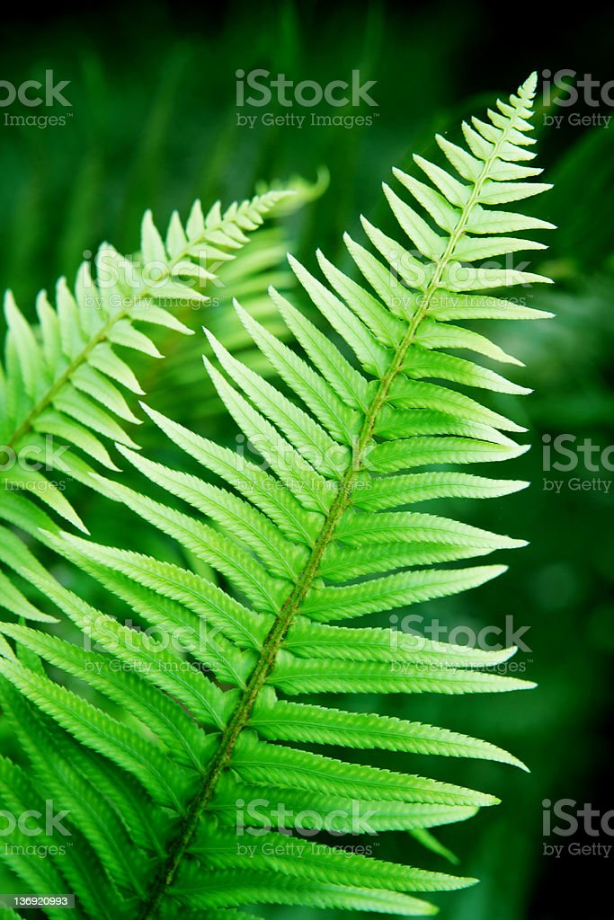 fern branch close-up royalty-free stock photo