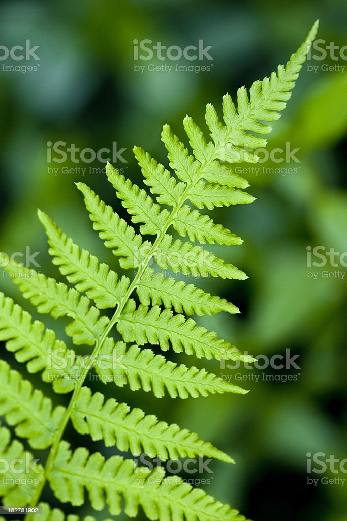 Fern Branch royalty-free stock photo