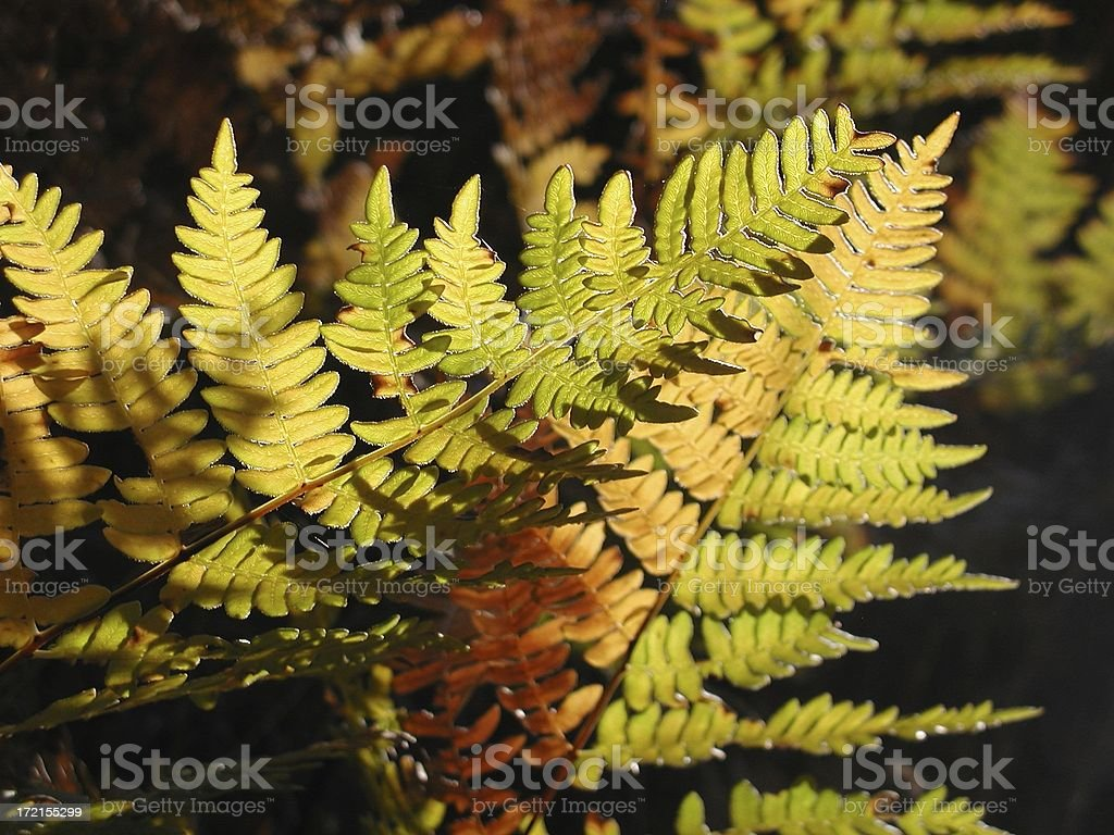 Fern Colors royalty-free stock photo