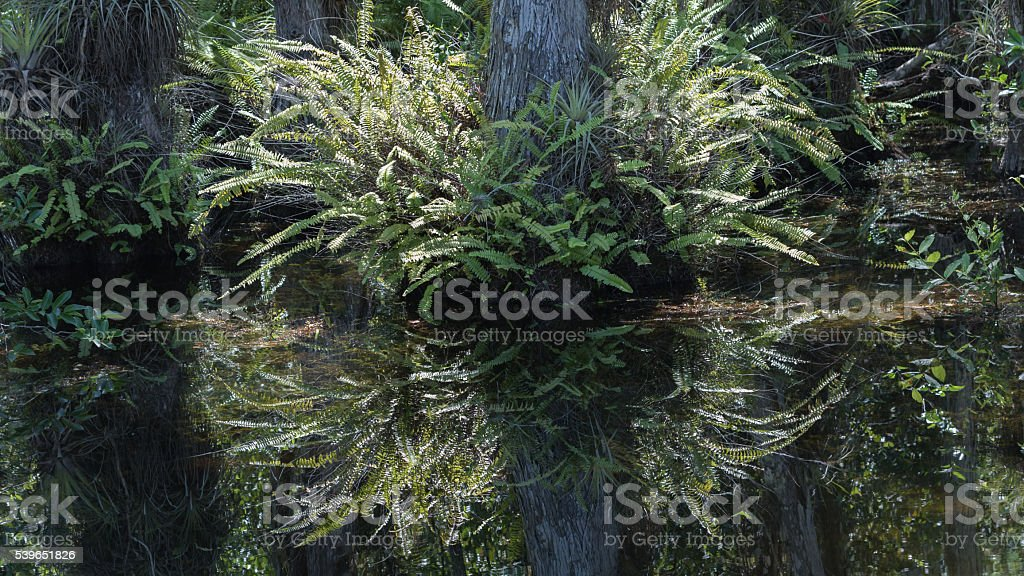 Fern, Cypress Roots, Swamp, Big Cypress National Preserve, Flori stock photo