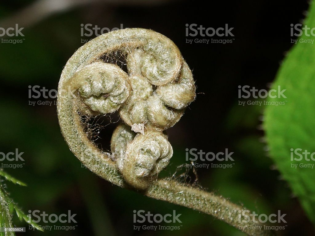 Fern fiddlehead, tropical cloudforest, Costa Rica stock photo