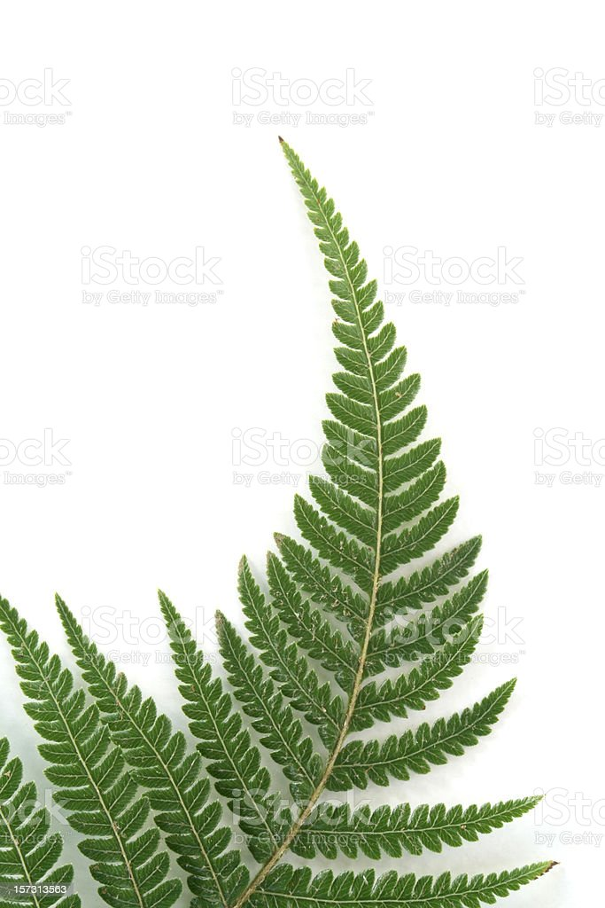 Fern frond against a white background stock photo