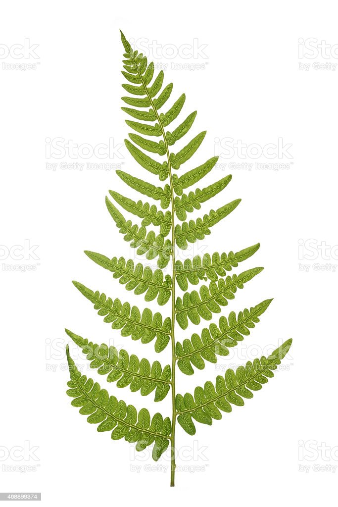 Fern frond against white background stock photo