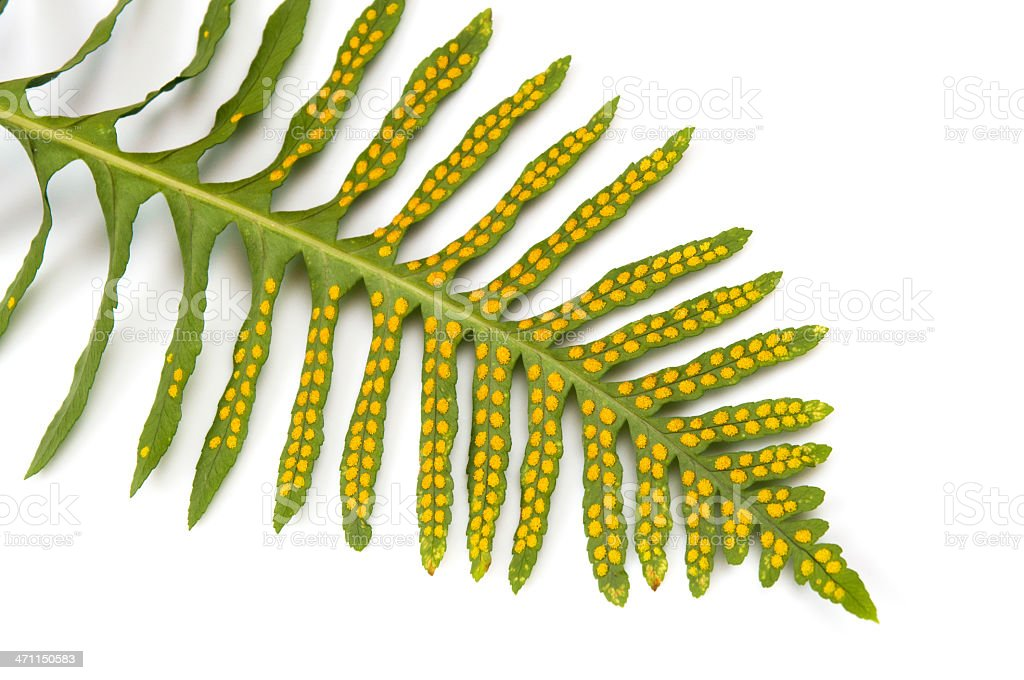 Fern frond and spores royalty-free stock photo