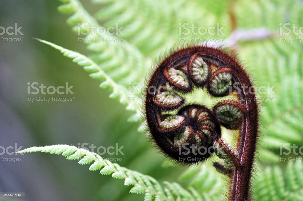 Fern Frond, New Zealand stock photo