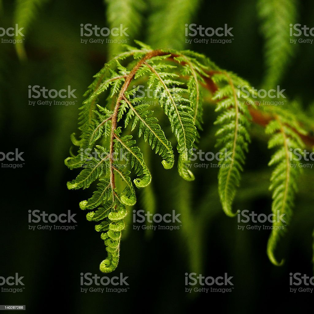 Fern frond royalty-free stock photo