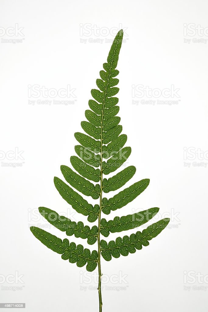 Fern frond plant stock photo