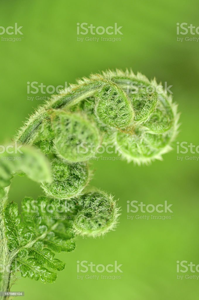 Fern frond uncurling royalty-free stock photo
