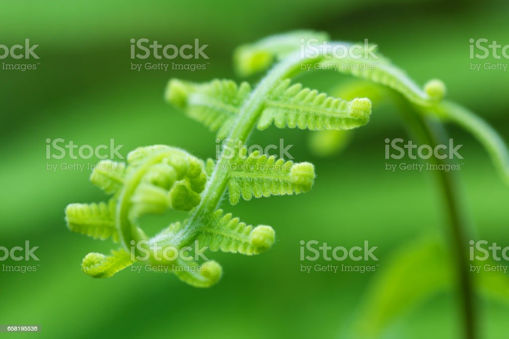 Fern frond with spiral shape stock photo