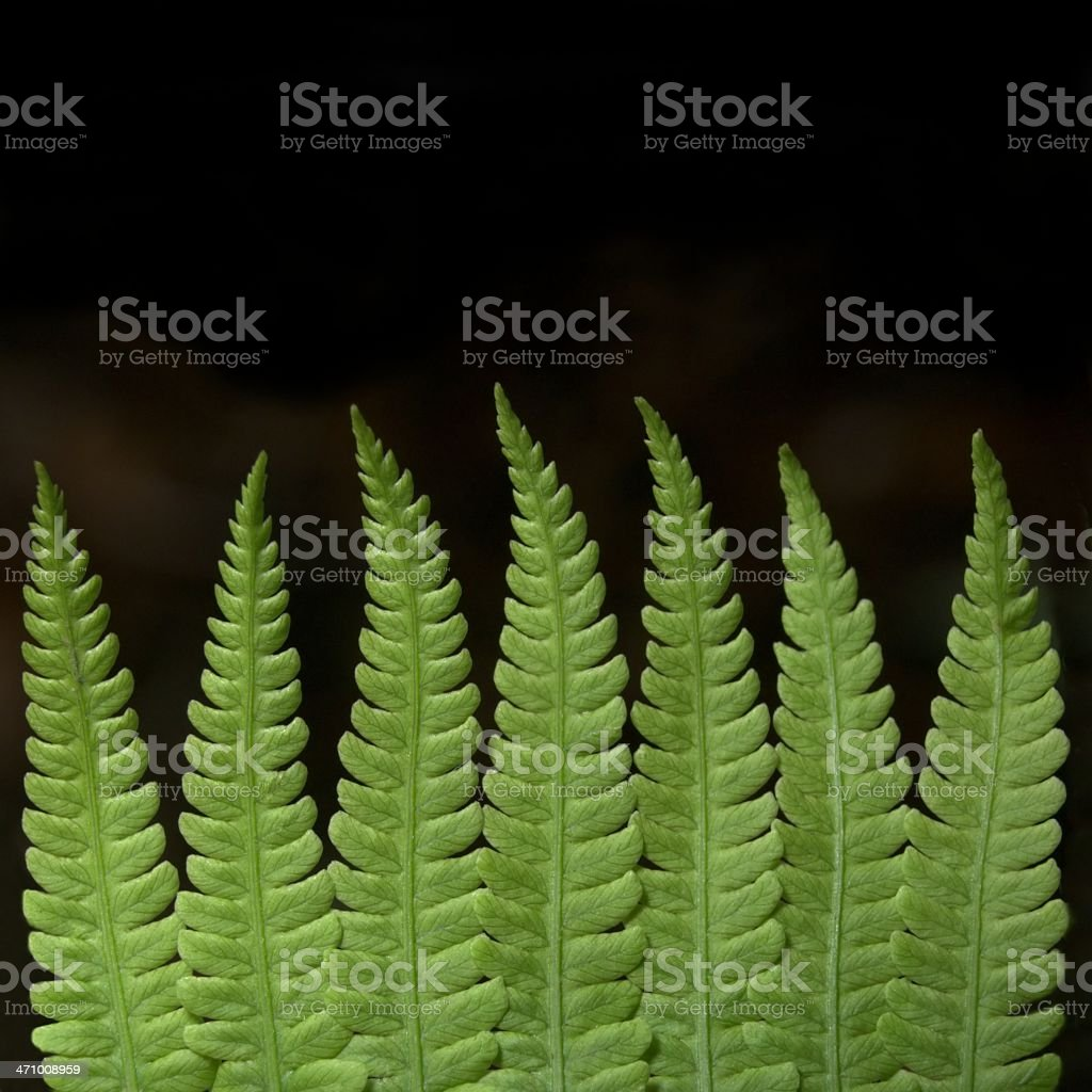 Fern fronds royalty-free stock photo