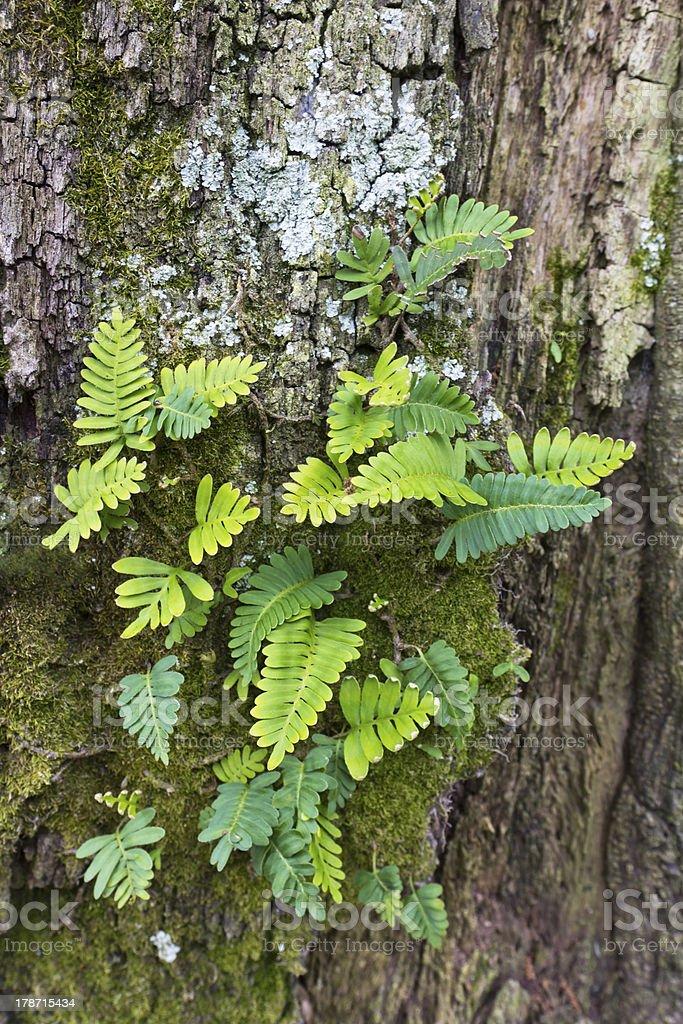Fern Growing on an Oak Tree stock photo