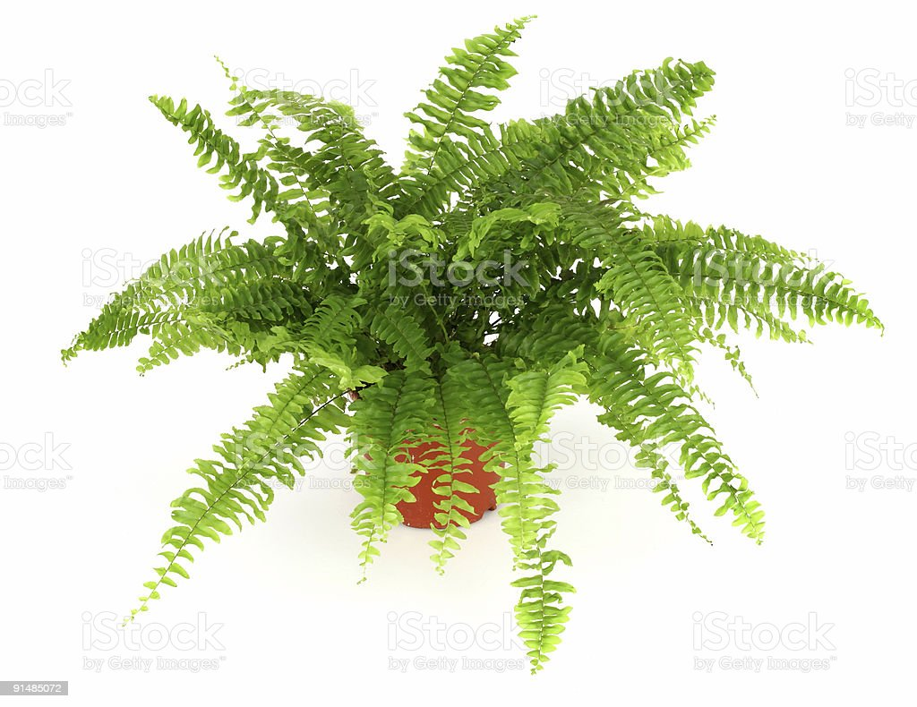 Fern in a pot isolated on white stock photo