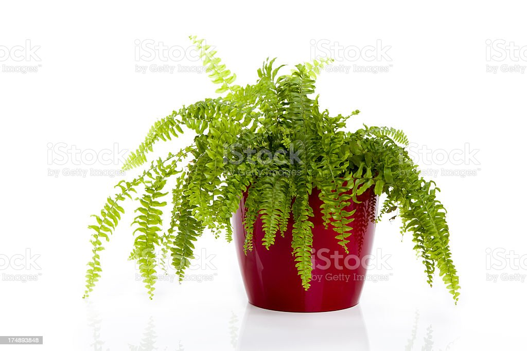 Fern in a pot isolated on white XXXL stock photo