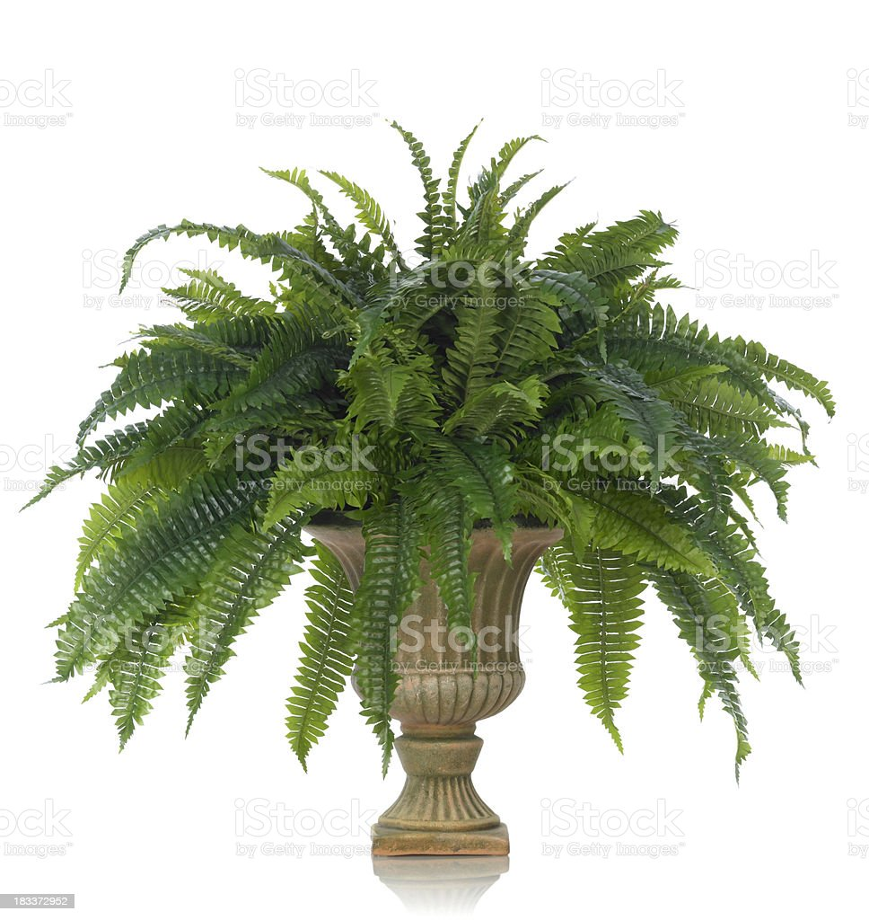 Fern in an Urn on a white background stock photo