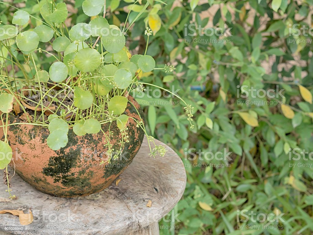 fern in clay pots on Wooden table, in the garden. stock photo