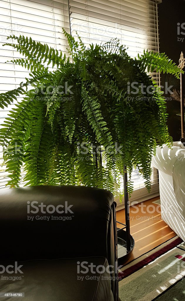 Fern In Living Room Between Two Comfortable Chairs stock photo