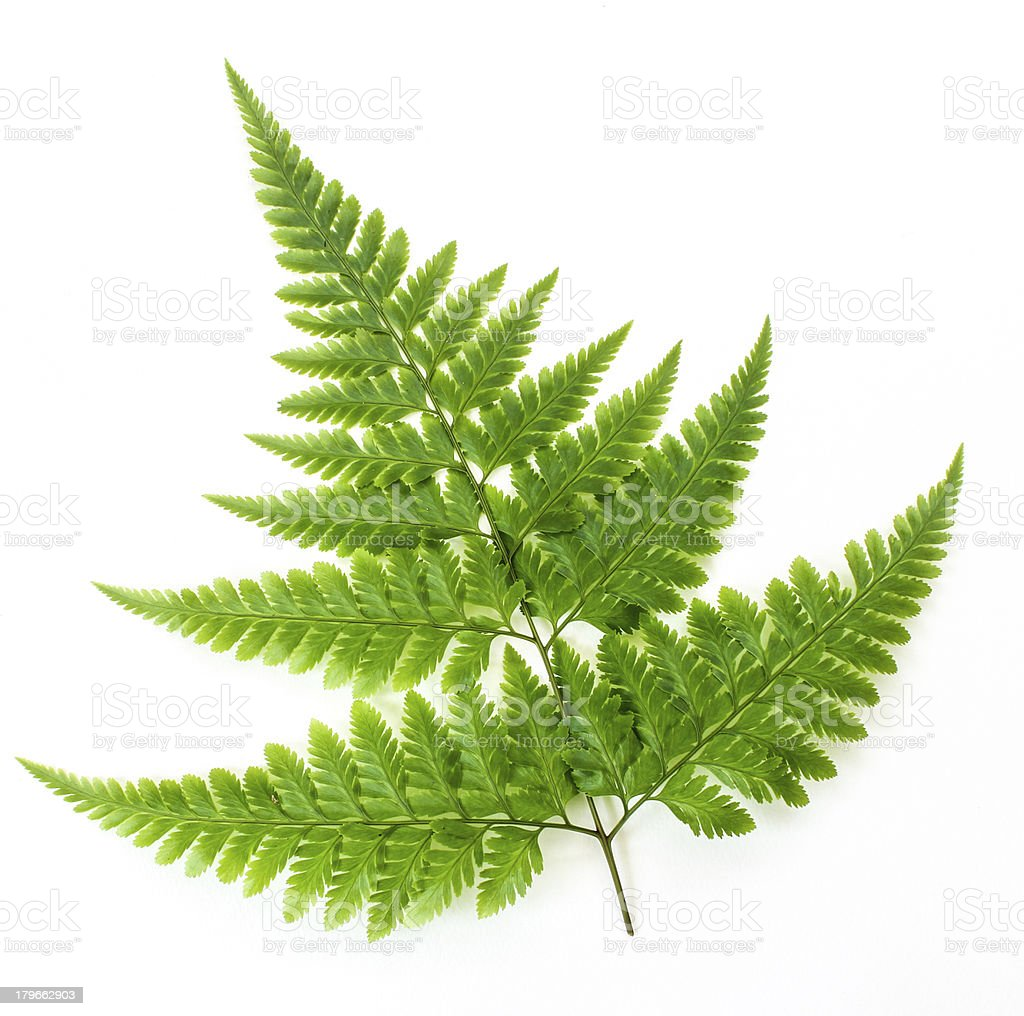 Fern isolated on white royalty-free stock photo