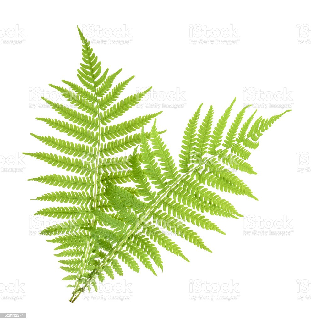 Fern isolated on white. without shadow stock photo