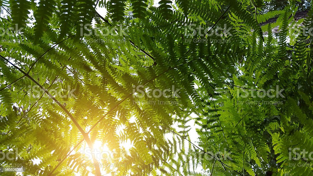 Fern leaf in the forest - backlit stock photo