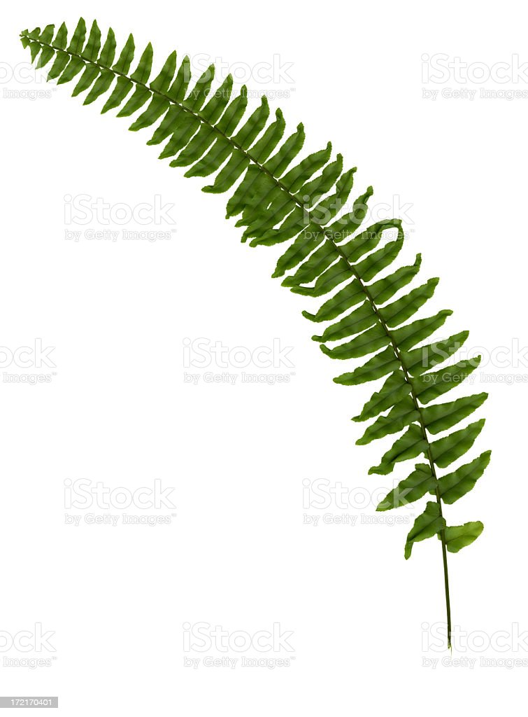 Fern leaf isolated royalty-free stock photo