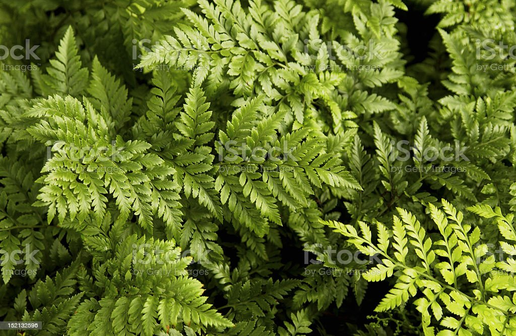 Fern leaf pattern royalty-free stock photo