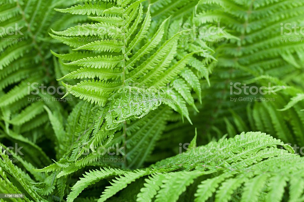Fern leaves after rain stock photo