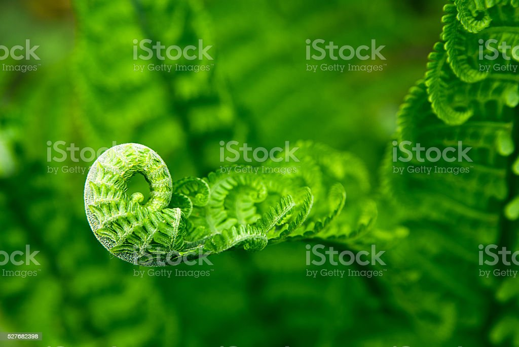 Fern leaves in spring on a sunny day stock photo