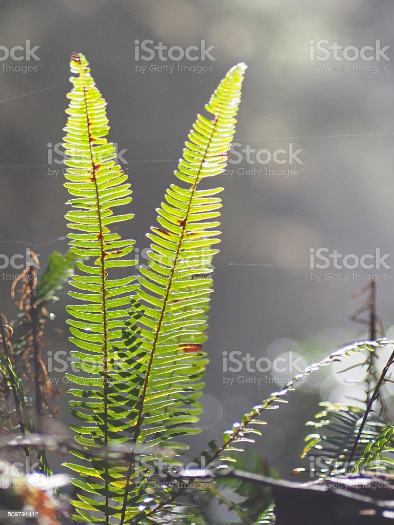 Fern leaves in Tofino, Vancouver Island, British Columbia, Canada stock photo