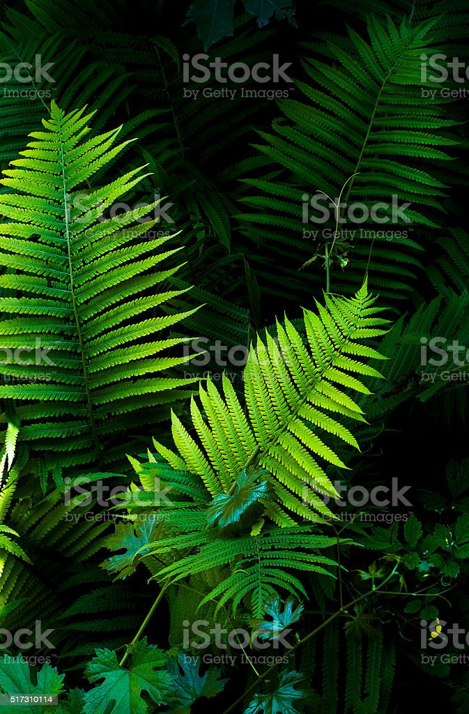 fern leaves on a dark background stock photo