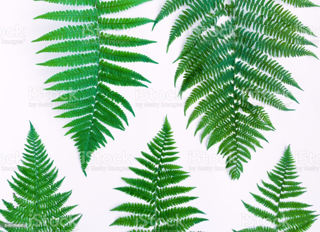 Fern leaves pattern isolated on white background. Flat lay, top view stock photo